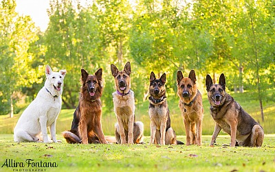 German Shepherd Rescue NSW fundraising calendar photo session