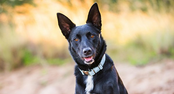 dog-photography-kelpie.jpg